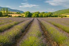 Поле лаванды, Провансаль, Франция стоковое фото rf