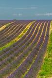 Поле лаванды, Провансаль, Франция стоковое изображение rf