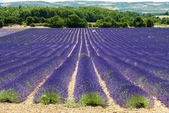 поле лаванды, Провансаль, Франция стоковые фотографии rf