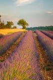 Поле лаванды, Провансаль, франция Стоковые Фото