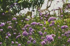 Поле лиловых цветков стоковое изображение rf