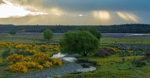 Поле люпинов в Новой Зеландии. Стоковое Изображение RF