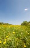 поле лютиков стоковое фото rf