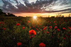 Поле мака на заходе солнца Стоковая Фотография