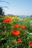 Поле мака Akamas Кипр Стоковая Фотография