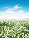 поле маргаритки Стоковые Фото