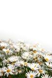 поле маргаритки Стоковая Фотография
