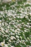 поле маргариток Стоковые Фото