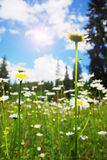 поле маргариток Стоковое фото RF