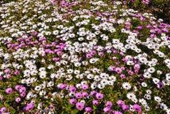 поле маргариток стоковое изображение