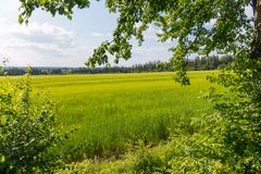 Поле молодого зеленого цвета просвещено солнечностью и обрамлено посадкой деревьев стоковые изображения rf