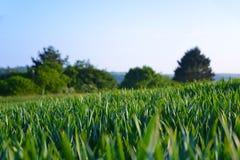 Поле молодой пшеницы растя в Корнуолле Стоковые Фотографии RF