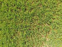 Поле молодых горохов Горохи на поле растут Бобы в поле Стоковая Фотография RF