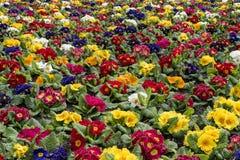 поле Мульти-цвета бесконечного polyanthus primula весны Стоковая Фотография