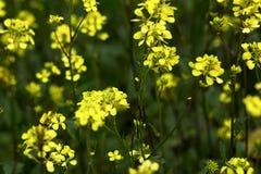 Поле мустарда, желтый зацветая мустард Стоковые Изображения RF