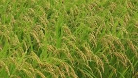 поле неочищенных рисов в осени Японии сток-видео