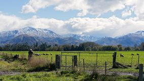 Поле овец против снега покрыло горы Стоковые Фото