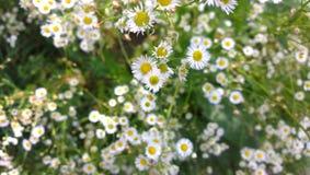 Поле одичалых маргариток в предыдущей весне Стоковое фото RF