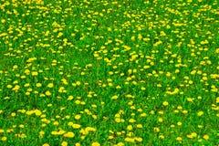 поле одуванчика Стоковые Фотографии RF