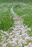 поле одуванчика Стоковое Изображение RF