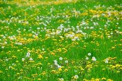 поле одуванчика Стоковая Фотография RF