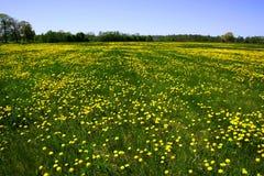поле одуванчиков Стоковое Фото