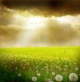 поле одуванчиков Стоковое Изображение