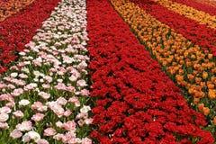 Поле около Lisse, южное Голландия тюльпана, Нидерланды Стоковое Фото
