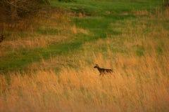 поле оленей скрещивания Стоковые Изображения