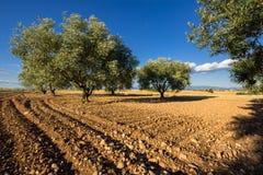 Поле оливкового дерева в Valensole в лете Alpes de Haute Провансаль, Альпы, Франция стоковое изображение rf