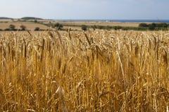 Поле органического ландшафта пшеницы Стоковая Фотография RF