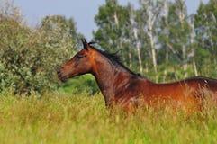 поле освобождает лошадь Стоковое Фото