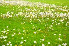 поле одуванчика Стоковое Изображение