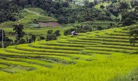 Поле падиа риса Стоковые Фото