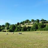 поле пася зеленых овец Стоковые Фотографии RF