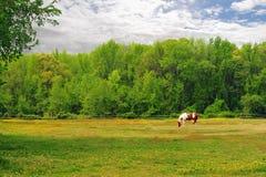 поле пася лошадь Стоковое Изображение RF