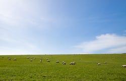 поле пася открытых овец Стоковые Фотографии RF