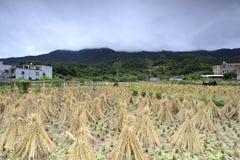 Поле после сбора на ноге горы, саман rgb риса стоковые фото