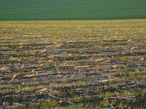 Поле после сбора на предпосылке молодой травы стоковое фото rf