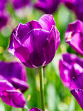 Поле пурпуровых тюльпанов Стоковое Изображение