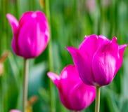 Поле пурпуровых тюльпанов Стоковая Фотография