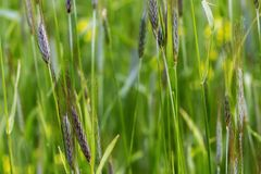 Поле пшеницы в зрея периоде, сельскохозяйственном секторе Стоковое фото RF