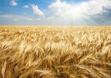 Поле пшеницы в ярком солнечном свете, аграрной предпосылке стоковые фото