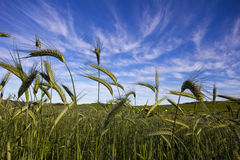 Поле пшеницы и голубое небо стоковое фото