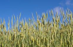 Поле пшеницы под голубым небом стоковое изображение rf