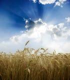 Поле пшеницы Стоковое Изображение RF