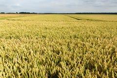 Поле пшеницы стоковые фото