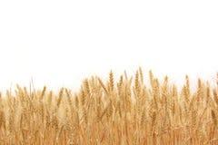 Поле пшеницы стоковые изображения rf