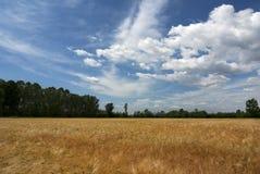 Поле пшеницы Стоковая Фотография RF