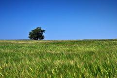 Поле пшеницы Стоковая Фотография